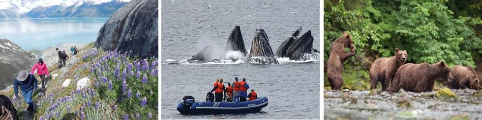 Alaska, Whales Bubble Feeding, Grizzly bears