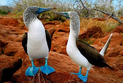 Galapagos blue booby